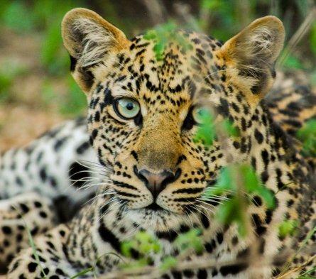 Leopardstripes