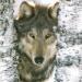 WolfFaerie17
