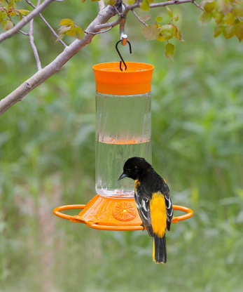 Oriole Food Recipe