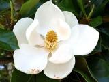 magnolia22