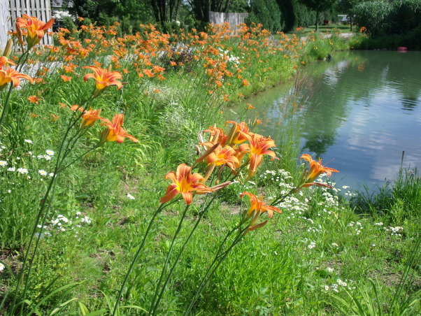 colorful,old fashioned,cottage garden, daylilies around pond  , Gardens Design