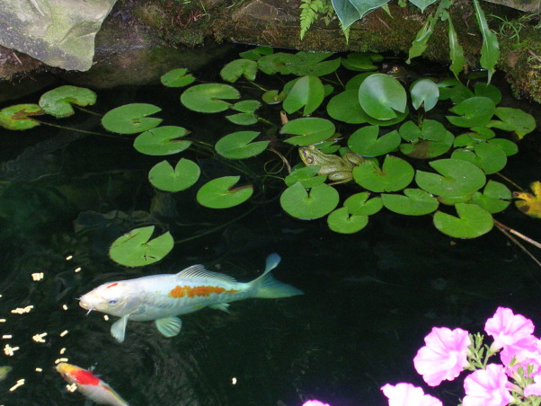 My Garden Pond, I made two garden ponds with a bridge and three waterfalls and a stream between the two ponds. I have over 20 koi and lots of frogs.  I also built a deck with a pergola.  At night the ponds light up with torches and low voltage lights under the waterfalls and around the ponds and my wife and I sit in our swing and listen to the waterfalls and frogs croaking.  I live in Ohio so we can only enjoy it for 8 months out of the year.  In the winter the koi stay at the bottom of the pond.  , feeding koi while a frog looks on            , Gardens Design
