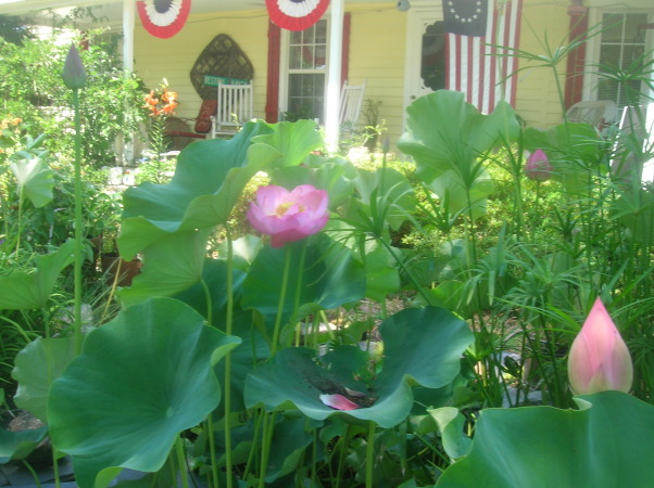1880's farmhouse & gardens..., 4th of July, Lotus flower in pond                                                                      , Gardens Design