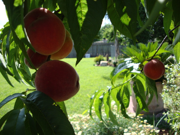 My backyard garden 2010, peaches any one?, Gardens Design