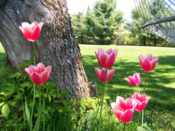 Spring Garden in Northern Maine, Spring came early this year and so did the tulips, pansies, and other spring flowers. , Gardens Design