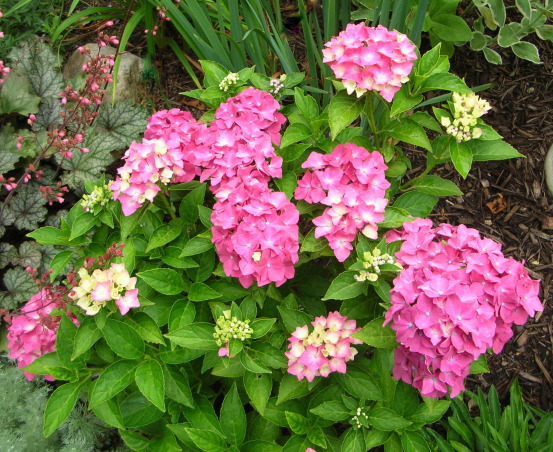 Celebrating hydrangeas, One of my favorite shrubs is the hydrangea. It doesn't matter what kind -- lacecap, mophead, miniature -- I love them all. And since this has been a particularly good year for hydrangeas here in New England, I thought I'd share a few of my favorites with you. , Gardens Design