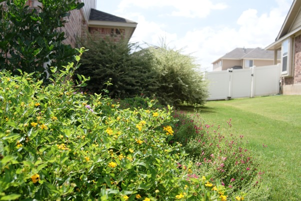 Colorful Texas Front Yard, My husband and I created several large flower beds to compliment our small sloped front yard.  We used all native Texas drought and heat tolerant plants--most of which are green all year round.  , Side yard  , Landscaping