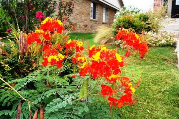 Colorful Texas Front Yard, My husband and I created several large flower beds to compliment our small sloped front yard.  We used all native Texas drought and heat tolerant plants--most of which are green all year round.  , This is a Pride of Barbados   , Landscaping