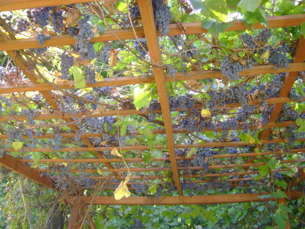 Backyard Vineyard Design :  moore, Trellis with concord grapes covering the top , Gardens Design