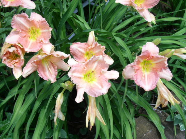 ~~DAY LILLIES~~, My flower gardens, Gardens Design