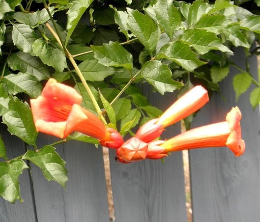 "Triumphant Trumpets, Their trumpets are sounding and we cannot get enough of them. With their vibrant and ""long"" lasting trumpet-like bloom, they attract lots of butterflies and bees in our garden!, Gardens Design"