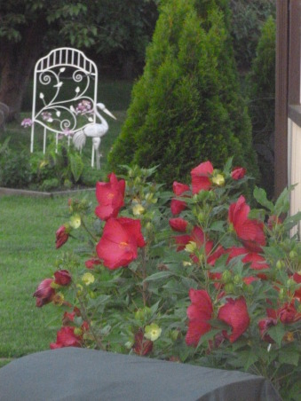 My summer gardens, My summer joy , Red hibiscus plants are still in bloom as of this date 9-14-2012 , Gardens Design