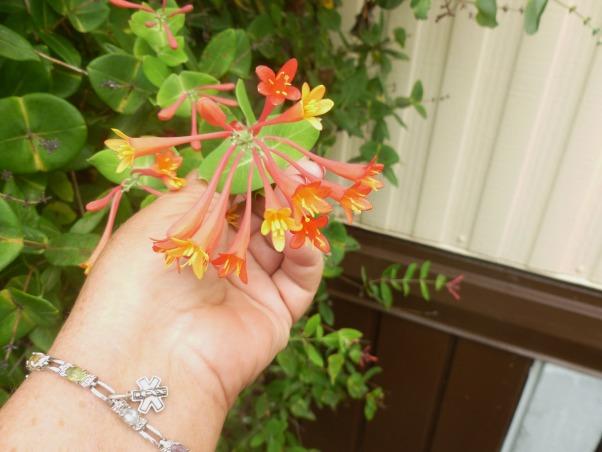 My summer gardens, My summer joy , The humming birds just love this honey suckle plant., Gardens Design