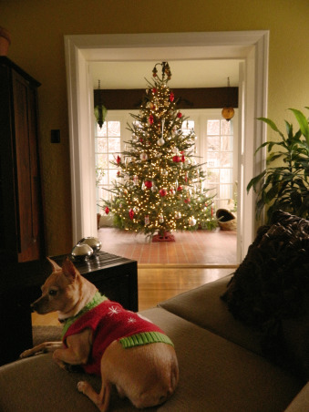 Christmas 2012, Christmas has arrived at our 1924 custom built, blonde brick, terracotta and copper roofed Italian villa-style home! Happy Holidays!, The tree in the sunroom during the day viewed from the living room. There's sweet Sophia again!   , Holidays Design