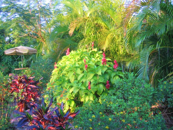 Private Paradise: Color all year long!, We've worked on our garden for the past 12 years. It includes many tropical and flowering plants, trees and fun decor., Brazilian Cloak provides great winter color., Gardens Design