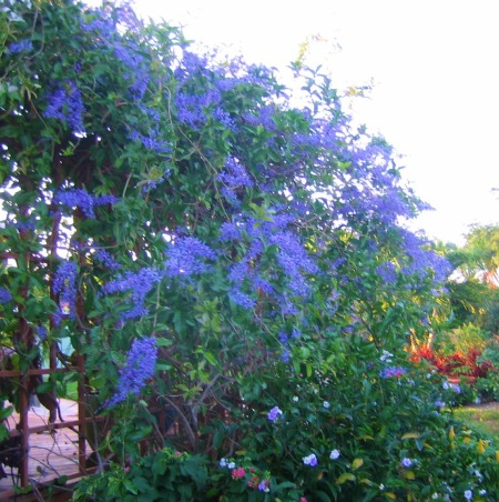 Private Paradise: Color all year long!, We've worked on our garden for the past 12 years. It includes many tropical and flowering plants, trees and fun decor., Tropical Wisteria or Petrea is a beautiful vine that needs a sturdy trellis., Gardens Design