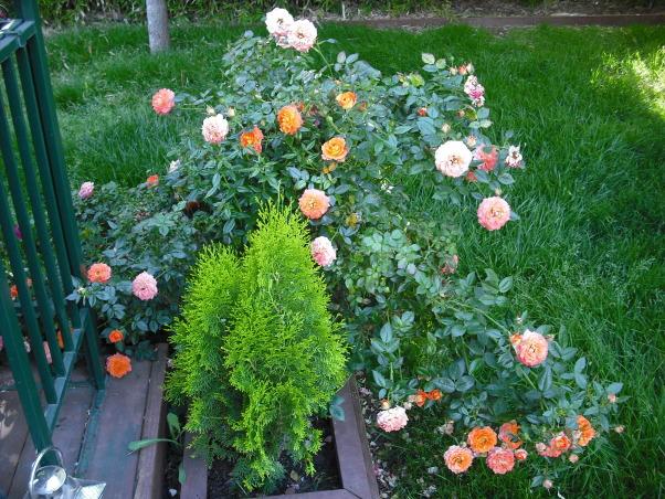Mini Roses and Deck, Mini Beautiful Coral Colored Roses  , Patios & Decks Design