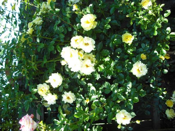 Mini Roses and Deck, Yellow Climbing Roses , Patios & Decks Design