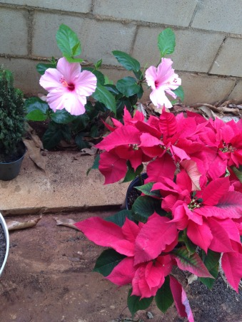 Mini Roses and Deck, My little plant gave me two beautiful pink hibuscus flowers., Patios & Decks Design