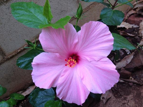 Mini Roses and Deck, Beautiful Hawaiian Pink Hibuscus, Patios & Decks Design