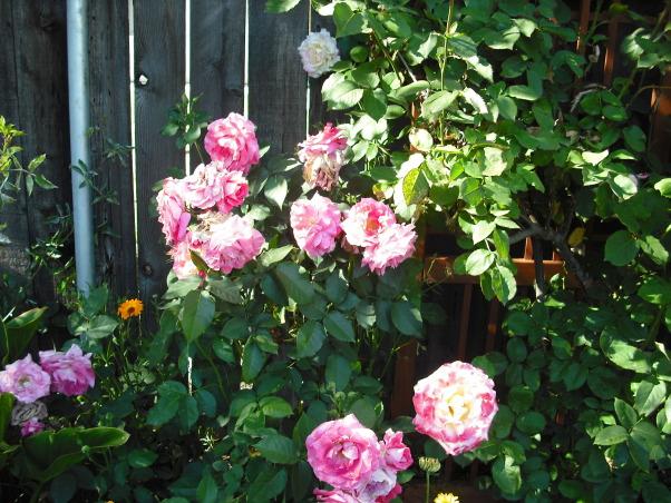 Mini Roses and Deck, Large Pink Roses at Spring  , Patios & Decks Design