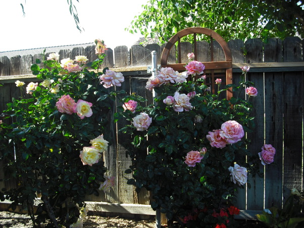 Mini Roses and Deck, Large Pink Roses  , Patios & Decks Design