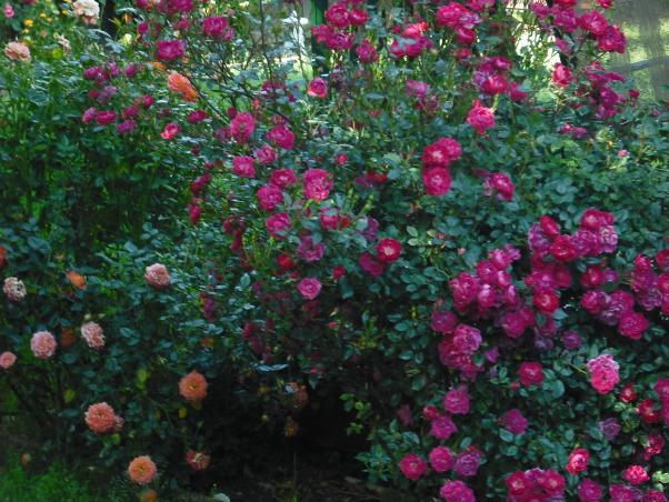 Mini Roses and Deck, Deep Red Mini Roses  , Patios & Decks Design