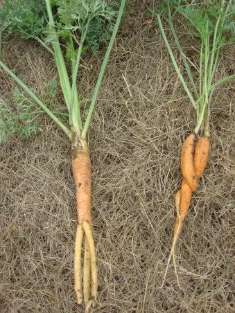 My 40 x 50 Garden, Odd Carrots , Gardens Design