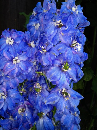 Backyard garden~, Raised beds for vegetables or cutting flowers, a Gnome Tree, flower borders and trees...., Beach Style Home~~ Love the Blue flowers... this id delphinium     , Gardens Design