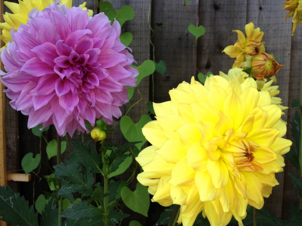 Backyard garden~, Raised beds for vegetables or cutting flowers, a Gnome Tree, flower borders and trees...., Beach Style Home~~ Dinner plate dahlias for cutting     , Gardens Design