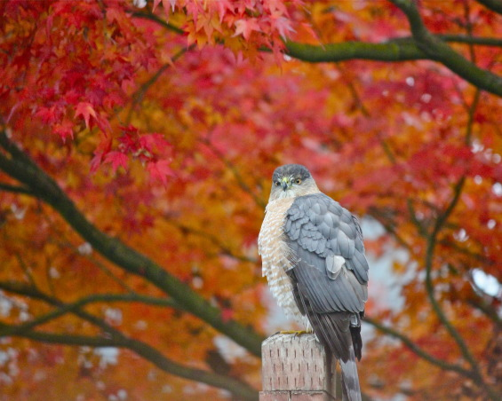 "Backyard garden~, Raised beds for vegetables or cutting flowers, a Gnome Tree, flower borders and trees...., Beach Style Home~~ A wonderful visitor in our Japanese Maple tree last Fall,  a ""Coopers Hawk""!     , Gardens Design"