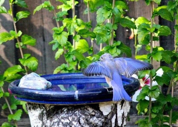 Backyard garden~, Raised beds for vegetables or cutting flowers, a Gnome Tree, flower borders and trees...., Beach Style Home~~  a saucer from a pot used on top of a Birch Tree trunk that had died for a birdbath... lucky us, the Bluebirds found it!     , Gardens Design