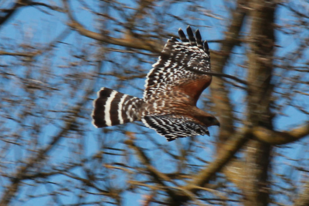 Backyard garden~, Raised beds for vegetables or cutting flowers, a Gnome Tree, flower borders and trees...., Beach Style Home~~  Coopers Hawk is back this Spring!   , Gardens Design