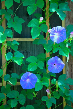 Backyard garden~, Raised beds for vegetables or cutting flowers, a Gnome Tree, flower borders and trees...., Beach Style Home~~ Morning Glories, I love all Blue Flowers!!   , Gardens Design
