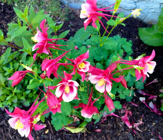 Backyard garden~, Raised beds for vegetables or cutting flowers, a Gnome Tree, flower borders and trees...., April has made its colors here!~~ This is one of many different colored Columbines~~~~  , Gardens Design