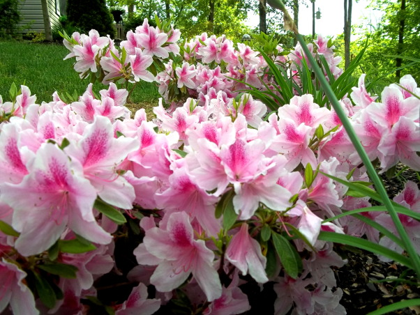 AZALEA TIME, Gardens Design