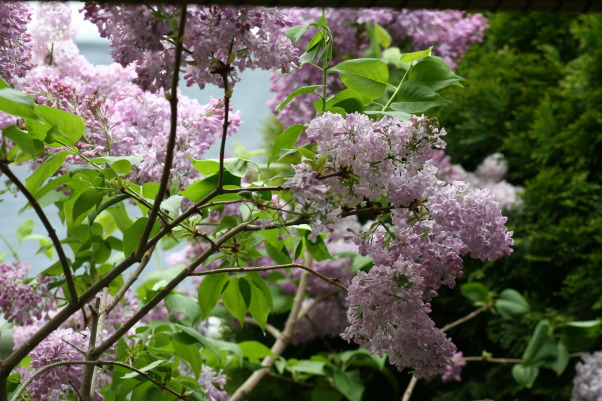Lilac Heaven, If you live in Rochester NY, you have to love lilacs!  These shots are from outside my sun room window., Gardens Design