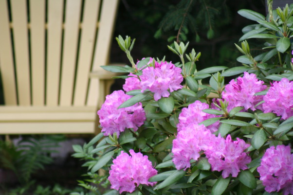 Today's walk ..., My little slice of heaven!, That lovely rhododendron back by the playhouse., Gardens Design