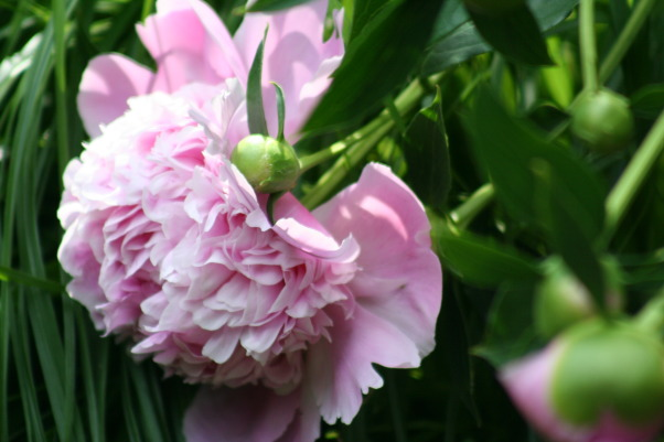 Today's walk ..., My little slice of heaven!, Peony under the pergola., Gardens Design