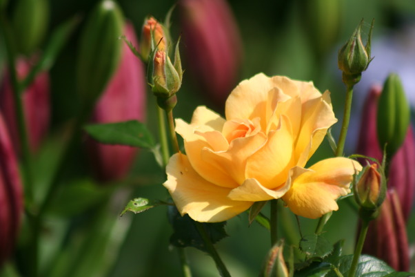Ahh - summer in the garden!, My gardens, maturing and thriving  in the North East's summer., Yellow roses with Ornamental Lilly getting ready to pop!  , Gardens Design