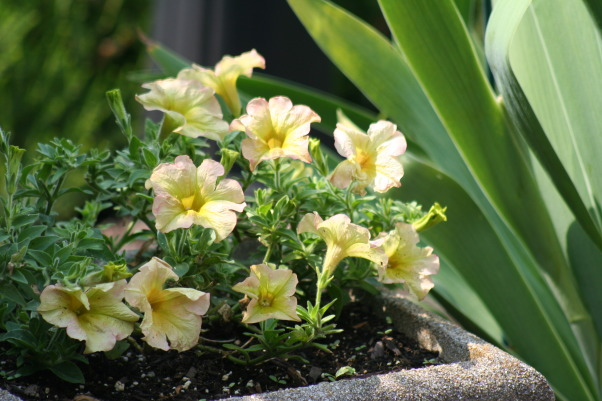 Ahh - summer in the garden!, My gardens, maturing and thriving  in the North East's summer., Yummy Lemon Sherbet petunias!  , Gardens Design