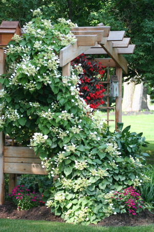 Ahh - summer in the garden!, My gardens, maturing and thriving  in the North East's summer., I have to add this as my last file because the climbing hydrangea is a belle of the yard right now. With the red hanging begonias, it's a ahhhh moment!, Gardens Design