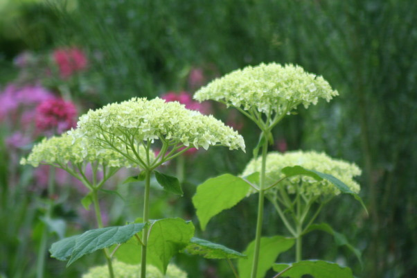 Ahh - summer in the garden!, My gardens, maturing and thriving  in the North East's summer., More new Annabelle hydrangeas.    , Gardens Design