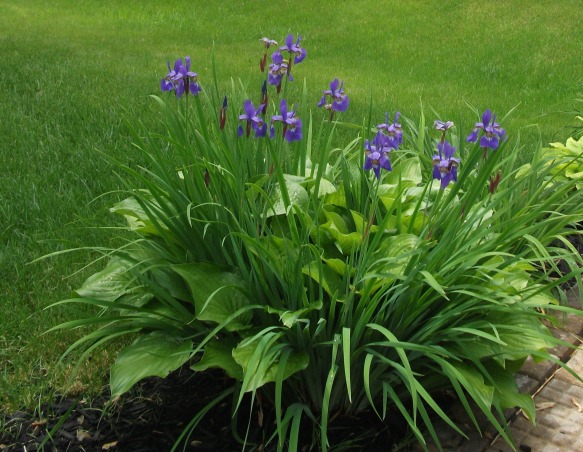 My New Home Redo, Exterior Makeover - Paint/Landscaping, I planted a hosta and the next year, an iris grew within it.  I think it is beautiful., Home Exterior Design