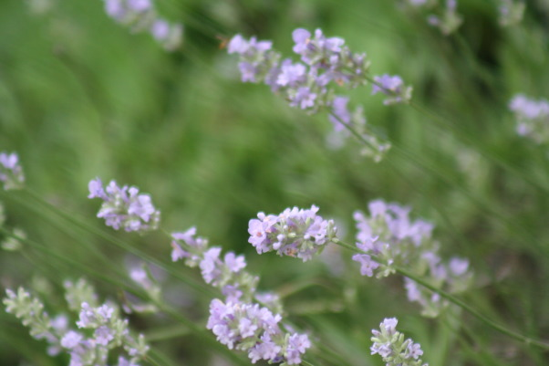 It just keeps changing!, Each few weeks, the gardens change and my excitement gets renewed. Walk with me!, My Lavender is just beginning to bloom>  , Gardens Design