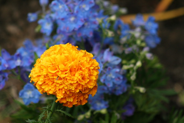 It just keeps changing!, Each few weeks, the gardens change and my excitement gets renewed. Walk with me!, The orange of the Marigold is a pleasing contrast to teh blue of the Delphinium.  , Gardens Design