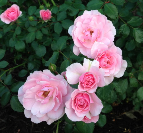 My Gardens, greenhouse, flowers and pool, My outdoor spaces and flowers, China doll rose, Gardens Design