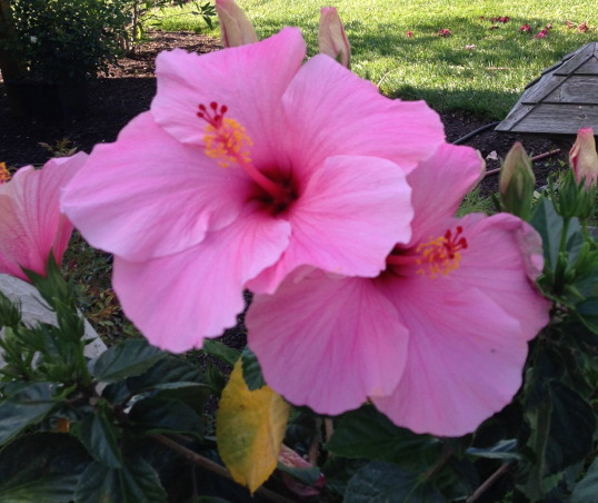 My Gardens, greenhouse, flowers and pool, My outdoor spaces and flowers, tropical hibiscus, Gardens Design