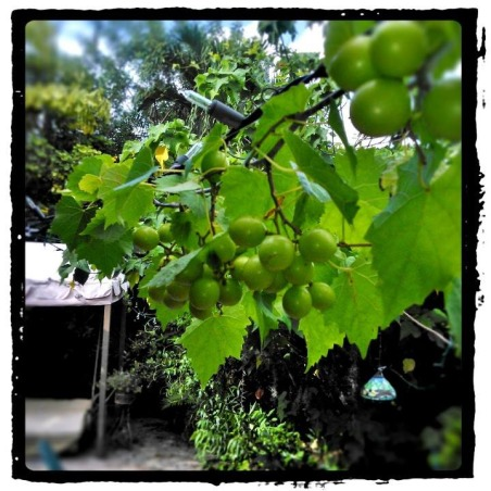 TroPICS., Pictures of my tropical garden in Florida., Muscadine grapes   , Gardens Design