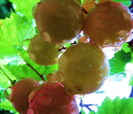 TroPICS., Pictures of my tropical garden in Florida., Grapes after a nature bath, Gardens Design